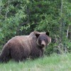 Two charged for allegedly killing grizzly bear